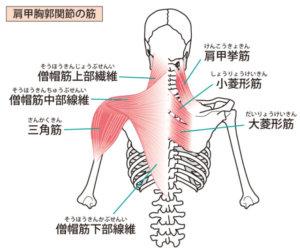 肩、背中の筋肉